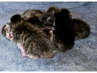 6 Russian Blue Kittens