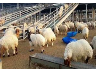Awassi sheep (Fat Tail) for sale text or call/ whatsaap; +15624493858