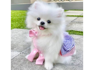 Beautiful Female pomeranian Puppy text 5624493858