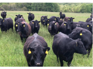 500 Black Angus 3-5 Year Old 2nd-3rd Stage Bred Cows for more info text or call ; 5624493858