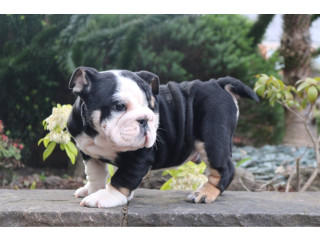 Big Boy JACK - ENGLISH BULLDOG PUPPY FOR SALE .
