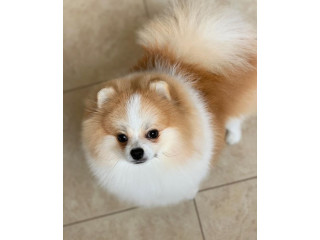 Pure breed Pomeranian