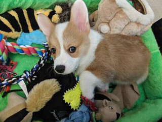Pembroke Corgi Puppy Looking For A New Home
