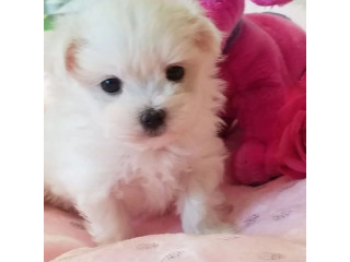 Maltese Puppies very healthy