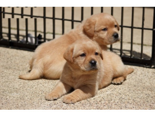 Labrador Puppies for adoption..971-318-3477