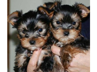 Gorgeous, Top Quality Yorkie puppies ready.