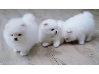 Adorable T-cup Pomeranian Pups For Re-homing