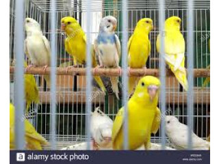 BEAUTIFUL LOVEBIRDS AVAILABLE