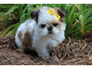 Shih tzu puppies Available now