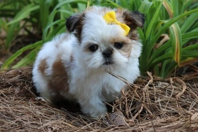 shih-tzu-puppies-available-now-big-0