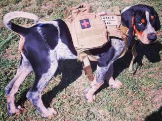 Blue Tick Coonhound Pup For Sale (Hunting Dog)