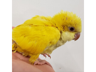 Lutino(Yellow)Baby Quaker
