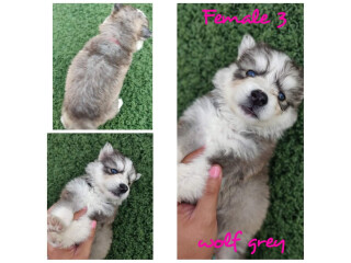 Husky puppies for sale. $600 each