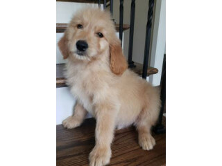AEDSE Golden retriever puppies