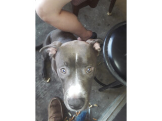 Blue gotta pitbull for sell