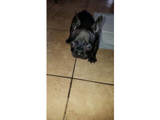 FOR SALE: French Bulldog