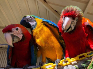 Country Macaw Parrots For sale