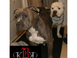 UKC registered American Bully's