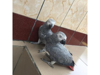 African grey parrots for rehoming 4