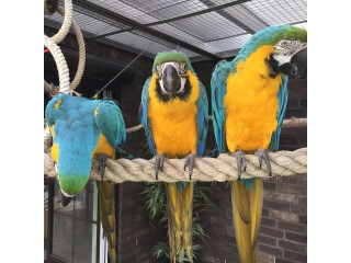 Blue and Gold Macaw parrots ready forever home