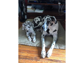 Full Blooded Great Dane Puppies
