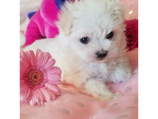 Fantastic Maltese Puppies for Sale