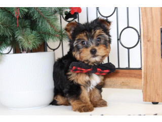 Micro Yorkie puppies for Sale
