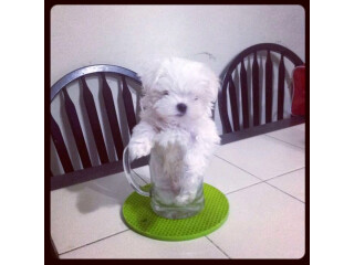 Male and Female Maltese puppies available for adoption.
