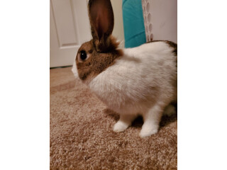 Sweet-litter box trained- Bunny
